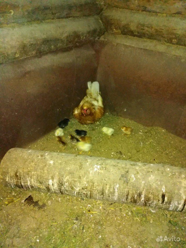 Продам наседкку с цыплятами. 9цыплят