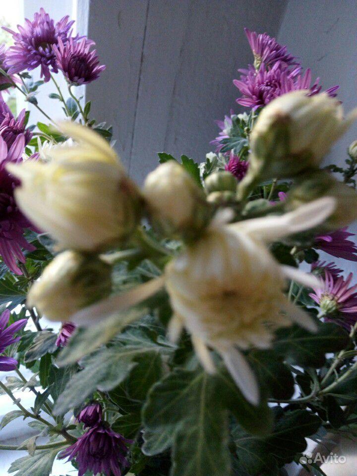 Хризантема белая и сиреневая, мята, шалфей и мн-е купить на Зозу.ру - фотография № 2