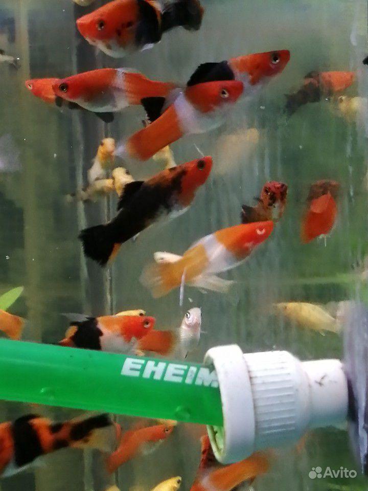 Меченосцы и молинезии аквариумные рыбки купить на Зозу.ру - фотография № 3