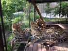 Котята африканского сервала