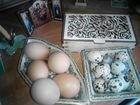 Яйцо перепелиное столовое,инкубац