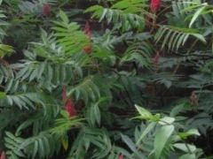 Саженцы уксусное дерево