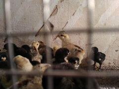 Цыплята Павловские, Кохинхин