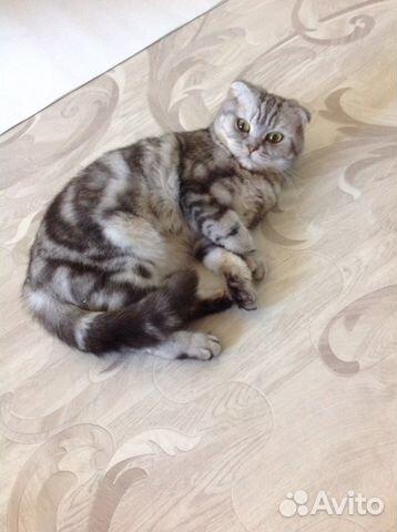 Авито кот для вязки шотландской вислоухой