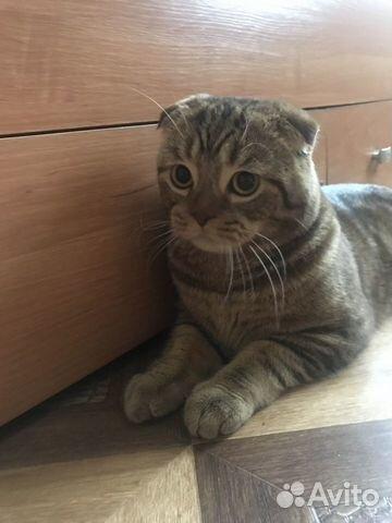 Ищем кошек для вязки купить 2