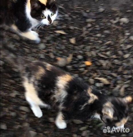 Кошка 89094773404 купить 3
