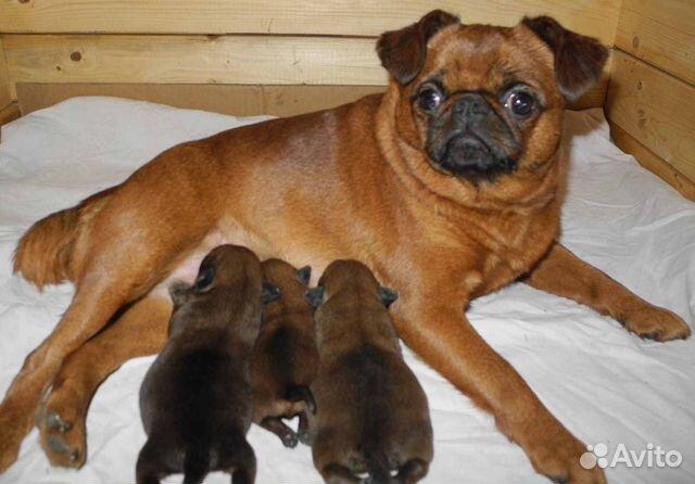 Чудесные щенки пти-брабансон ждут Вас купить на Зозу.ру - фотография № 10