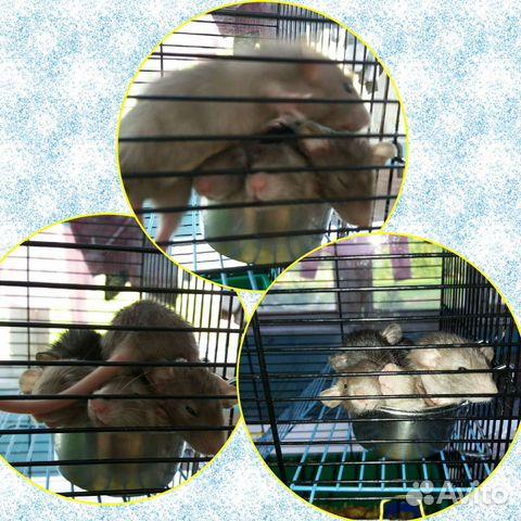 Крысята дамбо  89201636178 купить 4