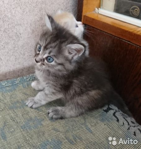 Котята в добрые руки  89272793404 купить 4