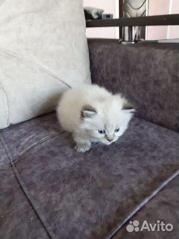 Котята  89000570756 купить 3