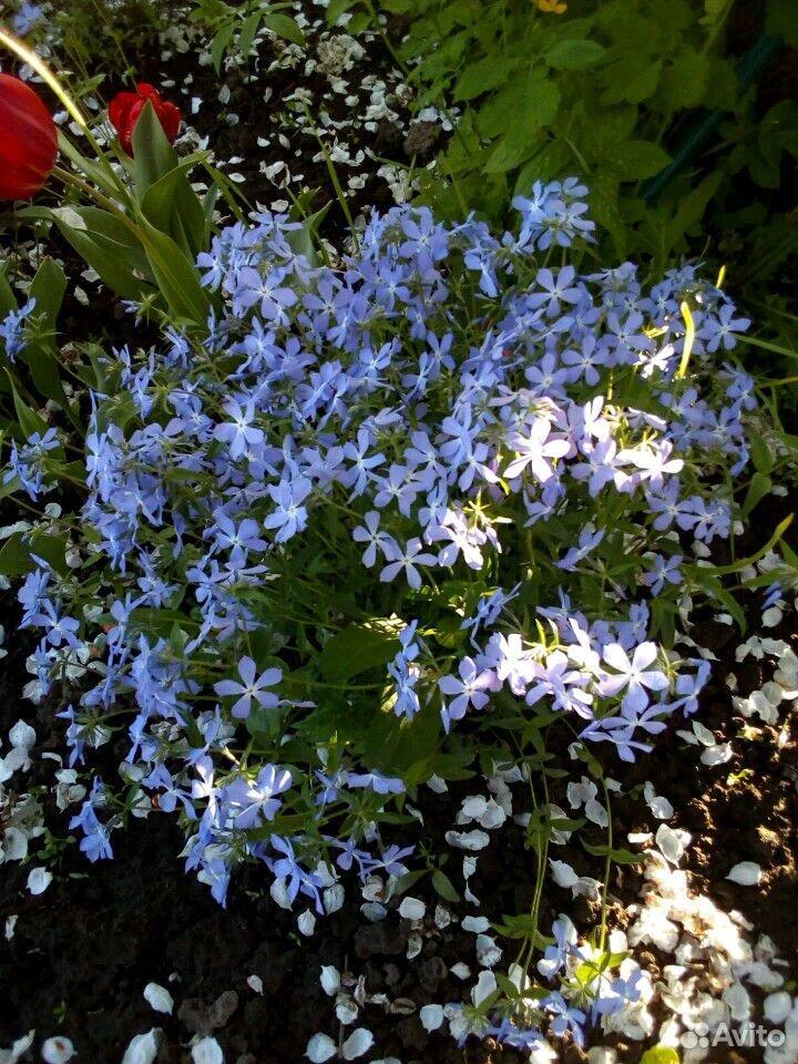 Растения садовые  89875767809 купить 2