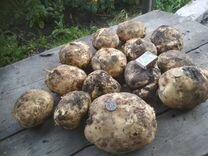 Продам картофель крупный