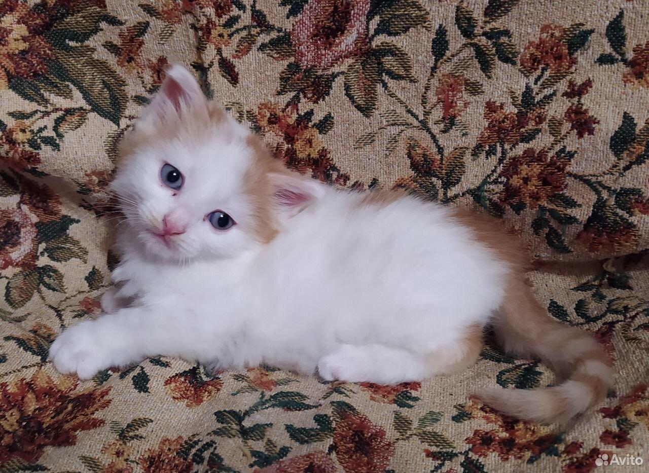 Котенок мальчик бело-рыжий  89222774310 купить 1