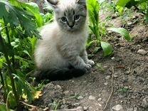 Кошечка шотландская прямоухая 2месяца