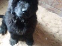 Продам щенков Ньюфаундленда — Собаки в Новосибирске