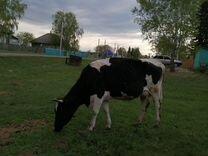 Продам коров