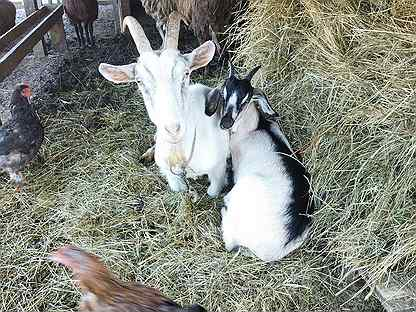 Коза и козочка