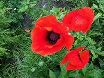 Многолетний цветок садовый