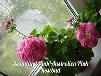 Продам пеларгонии 'Australien Pink в Колпино