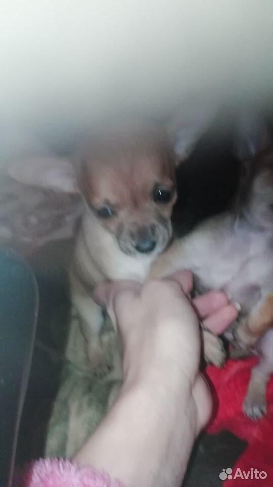 Собака  89145461066 купить 5