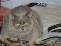 Скоттиш страйт, шотландская кошка