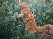 Кот Мейн-кун в развидение