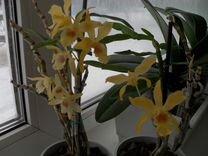Коллекционные орхидеи