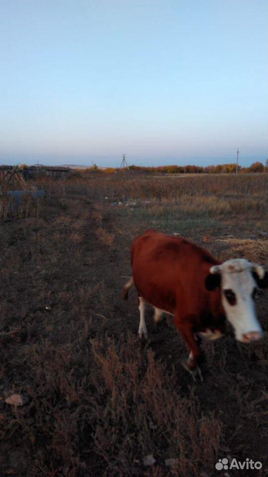 Корова  89878412238 купить 3