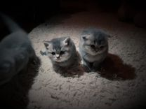 Продаю котят вислоухих британцев