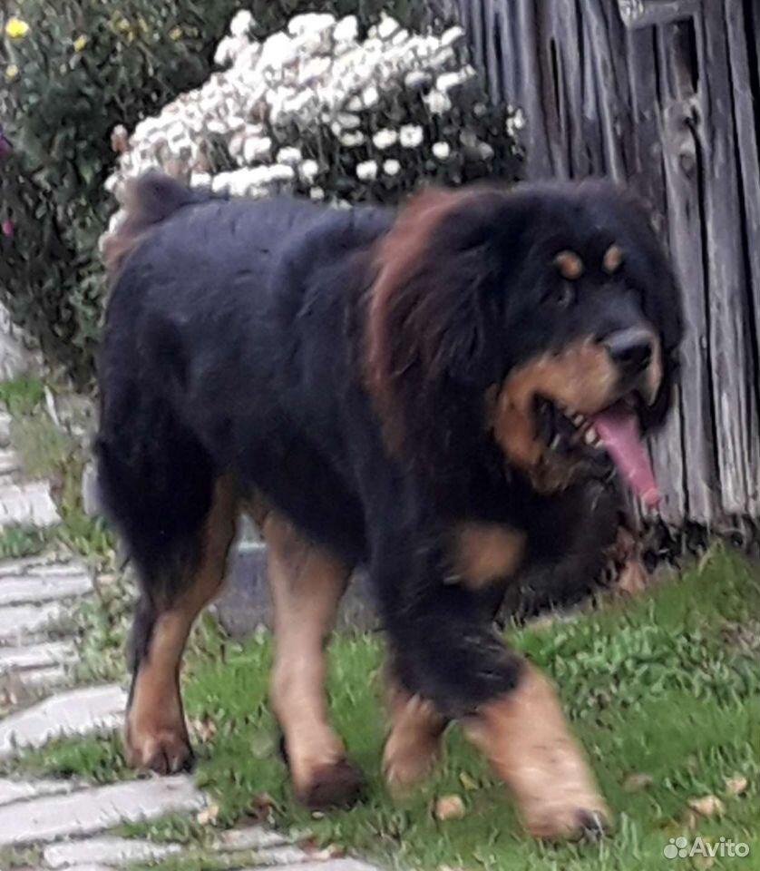 Welpen Tibet-Dogge  89191934656 kaufen 3