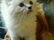 Красивые котята Невской маскарадной 1.5м