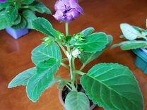 Глоксиния Соната фиолетовая