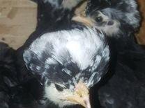 Цыплята голландская белохохлая