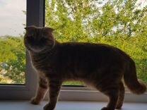 Вязка.Вислоухий шотландский кот