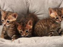 Тойгер - царь среди котов